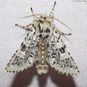 Major Sallow