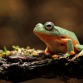 Only Frog by Darmawan Fauzi - Animals Amphibians ( frog, frogs )
