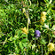 Larkspurleaf Monkshood