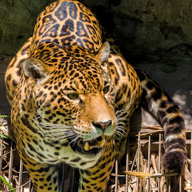 A jaguar by Maritere Izaguirre - Animals Lions, Tigers & Big Cats ( big cats, animals, tigers, jaguars,  )