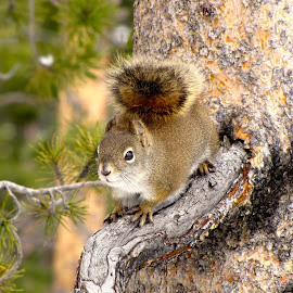 Nutty by Casey Smith - Novices Only Wildlife ( wildlife photography, nature, wildlife, pine, squirrel )