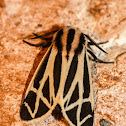 Harnessed tiger moth (male)