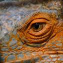 Iguana Orange (Green)