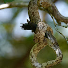 Oak Snake (video -dines on Ruby Throat)