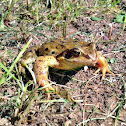 Grasfrosch or European Common Frog