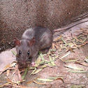 Mouse of Reed/Brazilian Marsh Rat/Web-footed Marsh Rat