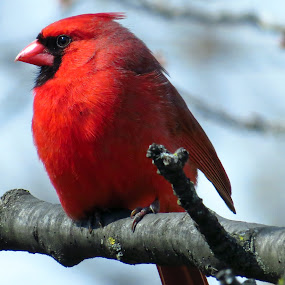 Northern Cardinal (Male) by Patti Hobbs - Animals Birds ( animals birds northern cardinal male )