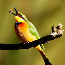 Little Bee Eater by Chris Krog - Animals Birds ( bird, bee, little, eater )
