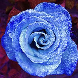 inhanced blue rose by Lacey Murphy - Digital Art Things ( rose )