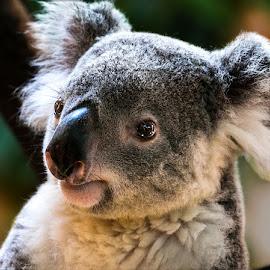 Koala by Renos Hadjikyriacou - Animals Other Mammals