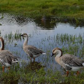 by Depak Chandel - Novices Only Wildlife ( water, ducks, weeds )