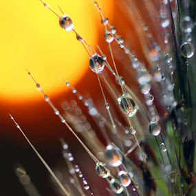 Rain & Sun by Janet Herman - Nature Up Close Natural Waterdrops ( water, nature, grass, raindrops, sunrise, waterdrops, natural )