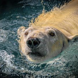 Anana 1 by Gregg Pratt - Animals Other Mammals ( polar bear )
