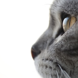 whiskas kitty by Alexandra Ale - Animals - Cats Kittens ( cat, kitten, whiskas cat, british shorthair silver taby )