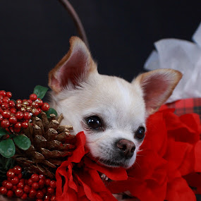 Chi Christmas by Pablo Barilari - Animals - Dogs Portraits ( christmas dog, chihuahua, dog )