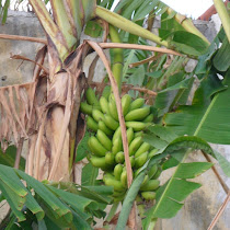 Edible Plants Northeastern Brazil