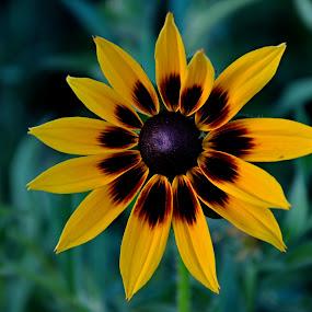 Attractive blossom by Irena Gedgaudiene - Flowers Flower Gardens ( attractive, brown, yellow, alone, flower,  )