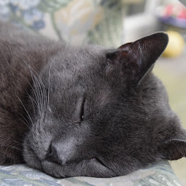 Sweet Dreams  by Donna Sepe - Animals - Cats Portraits ( grey cat, cat, sleeping, feline, domestic cat,  )