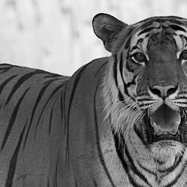 by Irhas Ihsan - Animals Lions, Tigers & Big Cats