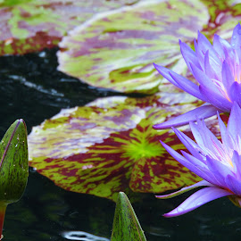 Water Lilly by Kendra Voelz - Nature Up Close Other plants ( water, purple, water lilly, lily pad, petal )