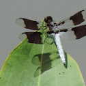 Common Whitetail Dragonfly (male)