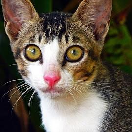 Menatap by AbngFaisal Ami - Animals - Cats Portraits