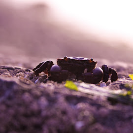 Spider of the Sea by Micaela Lafferty - Animals Sea Creatures ( nature, sunset, ocean, beach, crab, animal )