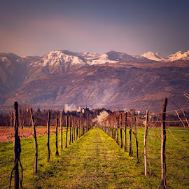 Vineyard by Luigi Esposito - Landscapes Prairies, Meadows & Fields ( mountains, vineyard, plants, castle )