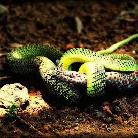 Accidental affair with a Snake and a Gekko by Lin Willaert - Animals Reptiles