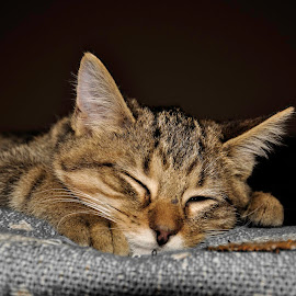 Duncan by Christine May - Animals - Cats Kittens ( cats, sleeping cat, kitten, cat, animals, sleeping, kittens, feline, photography, animal,  )