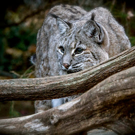 Bobcat stalking by Jen Pezzotti - Animals Lions, Tigers & Big Cats ( cat, bobcat )