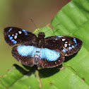 Lerina Blue-Skipper