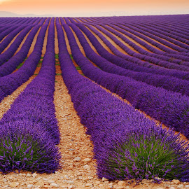 Lavender field, Valensole  by Tomas Vocelka - Landscapes Prairies, Meadows & Fields ( smell, provence, field, fragrance, sunset, violet, summer, tourism, geomtery, lavender, valensole, rows )