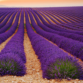 Lavender field by Tom Vocelka.jpg