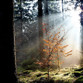 Sunbeams Tree by Daniel Schroeder - Landscapes Forests ( tree, sunrise,  )