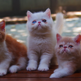 by Neni Wijaya - Animals - Cats Kittens ( bekasi, myhouse, cat, ciketing, kittens )