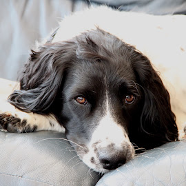 Rory by Iain Murray - Animals - Dogs Portraits ( springer spaniel )