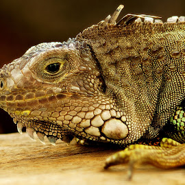 by Hery Sulistianto - Animals Reptiles (  )