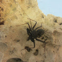 Florida Tailless Whipscorpion