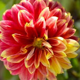 by Claudel Lamoureux-Duquette - Novices Only Flowers & Plants ( montreal, colorful, flowergraphy, summer, botanical garden, garden, flower )