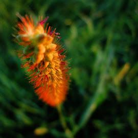 grass by Norbert Szenográdi - Novices Only Macro ( hungary, macro, nature, grass, sunset, sevoir )
