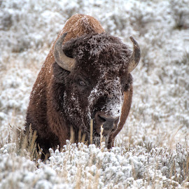 Snowy Bison by Andy Schwanke - Animals Other Mammals ( buffalo, yellowstone, winter, cold, bison, snow, yellowstone national park )