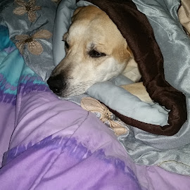 My Poopaloo Pooch by Thenameiskaren Brown - Animals - Dogs Puppies ( doggy, family, pet, puppy, labrador, my baby )
