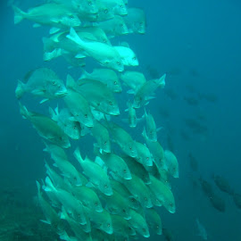 Shoal of Slate by DJ Cockburn - Animals Fish ( mafia, tanzania )