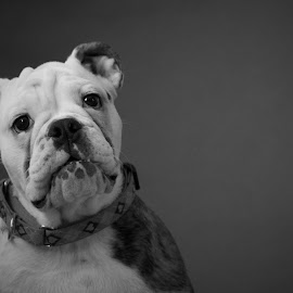 English Bulldog by Leonel Mendez - Animals - Dogs Portraits