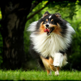 by Jane Bjerkli - Animals - Dogs Running ( expression, playing, shetland sheepdog, summer, dog, running, sheltie, animal )