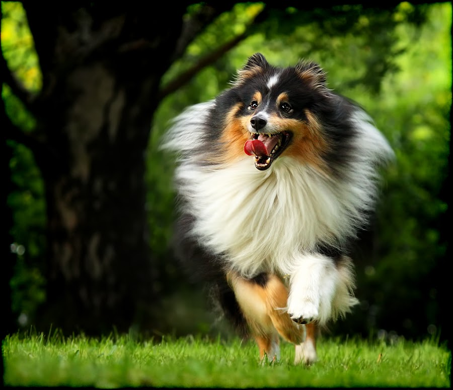 by Jane Bjerkli - Animals - Dogs Portraits ( playing, expression, shetland sheepdog, summer, dog, sheltie, running, animal )