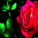 3D rose 999 icon