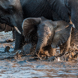 Playful Ellie by Johan Jooste Snr - Animals Other Mammals ( etosha, playful, elephant, namibia, waterhole )