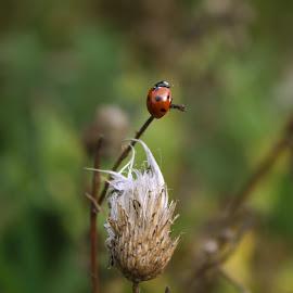 Ladybird by Angela McKim - Novices Only Wildlife ( nature, plants, nature up close, ladybird, ladybug,  )